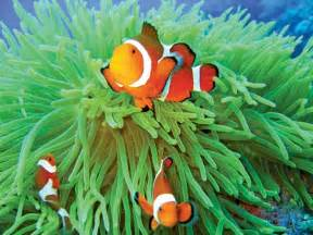 Where Does an Anemone Clown Fish Live