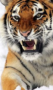 Felines Tiger Wallpaper for iPhone X, 8, 7, 6 - Free ...