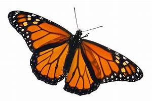 Scientists Retrace Monarch U2019s Toxin