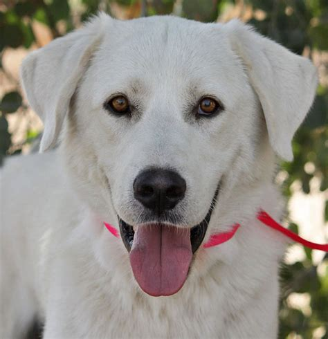 Great Pyrenees Shedding by Great Pyrenees Anatolian Shepherd Mix Temperament