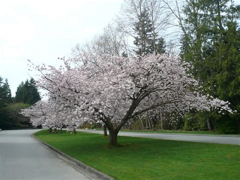 flowering trees the 12 best flowering trees for the garden garden design