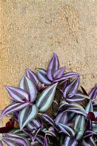 Outdoor Wandering Jew Plant