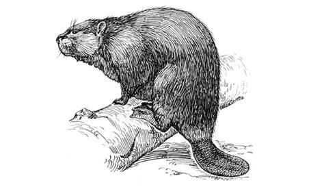 Beaver Based Alternative To Vanilla The Atlantic