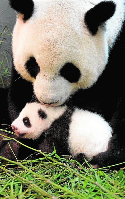 la panda  fingio su embarazo la verdad