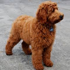 calmest medium sized dog dog breeds picture