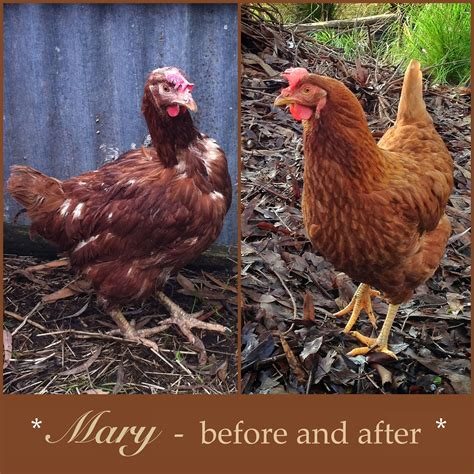 mary    mary    battery hen