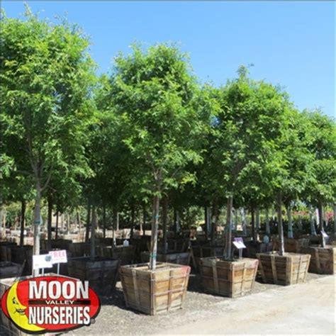 Moon Valley Nursery Phoenix Az a spec chinese evergreen elm trees