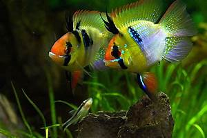 1000+ images about African Cichlids - Fish on Pinterest ...