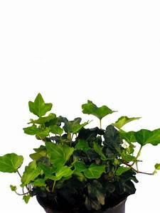 Efeu Als Zimmerpflanze : efeu pflanzenklick ~ Indierocktalk.com Haus und Dekorationen