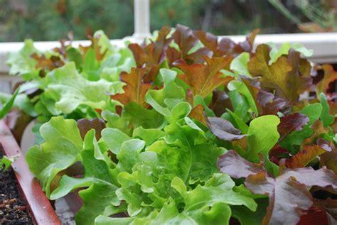 Lettuce Varieties, Types Of Lettuce, Varieties Of Lettuce