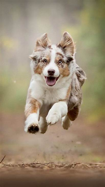 Australian Shepherd Wallpapers Running