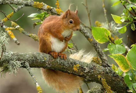 telecharger la meteo sur mon bureau gratuit fond ecran hd écureuil roux sur branche wallpaper