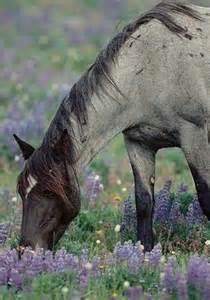 Blue Roan Mustang Horse