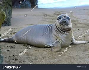 Curious New Born Elephant Seal Pup / Infant / Baby Looking ...