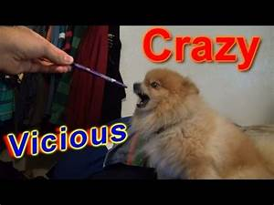 Crazy Vicious Dog Doesn't like anything!!! Evil Pomeranian ...