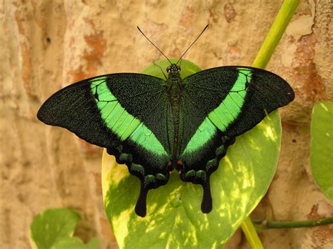 green, Swallowtail Wallpapers HD / Desktop and Mobile ...