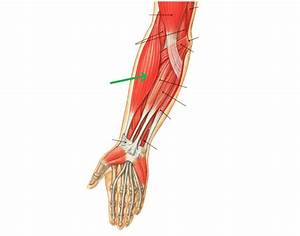 Lower Arm Muscles