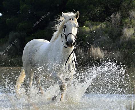chevaux de camargue blanc au galop photographie surzet