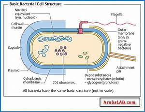 Well Labelled Diagram Of Bacteria