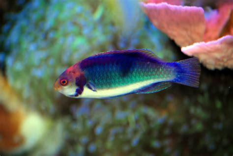 Real Rainbow Fish