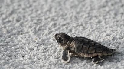 Turtle Animals Wallpapers Animal Beach Turtles Background