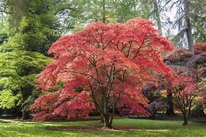 Arbre à Croissance Rapide Pour Ombre : arbre feuilles rouges liste ooreka ~ Premium-room.com Idées de Décoration