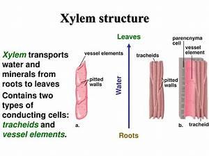 Ppt - Vascular Tissue