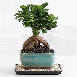 Bonsai Ficus Ginseng : ginseng ficus bonsai ficus caratteristiche bonsai ficus ginseng ~ Buech-reservation.com Haus und Dekorationen