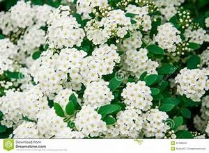 Weiß Blühender Strauch : bl hender strauch stockfoto bild 41338349 ~ Lizthompson.info Haus und Dekorationen