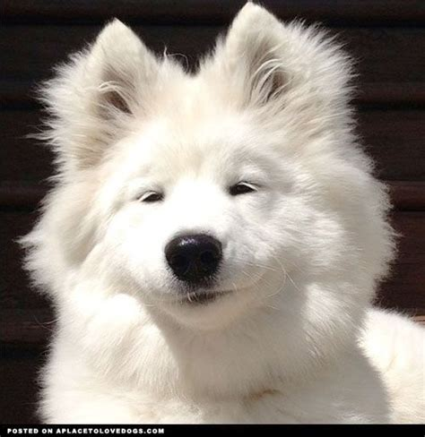 17 Best Images About Samoyed On Pinterest Portrait