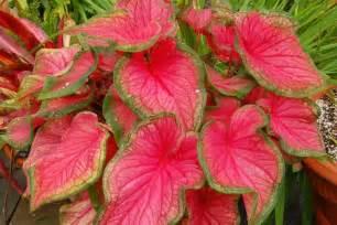 mudah menanam merawat tanaman keladi hias red