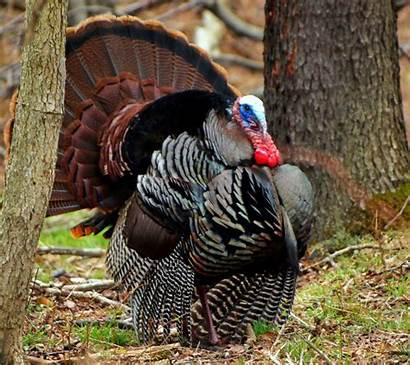 Turkey Hunting Season Spring York Open Forma