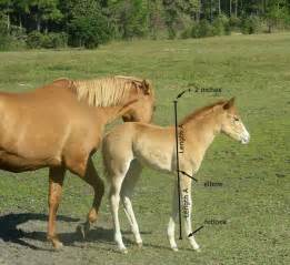 Estimate the Mature Height of a Foal - Horse Lover's Math