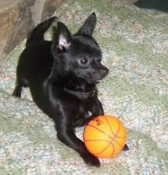 Cute Black Chihuahua Puppy