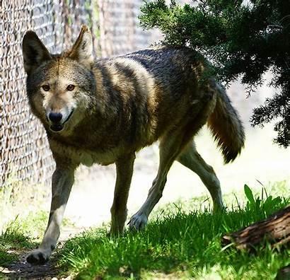 Wolf Animals Fossil