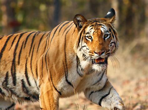 fauna  india wikipedia