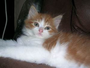 Part Persian Ginger/White fluffy | Margate, Kent | Pets4Homes