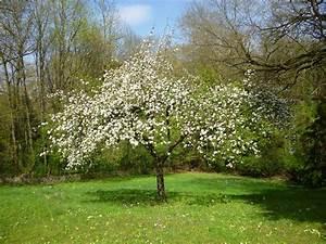 Sakura Baum Kaufen : zarz rul primul pom cu flori al prim verii casa i gr dina ~ Frokenaadalensverden.com Haus und Dekorationen