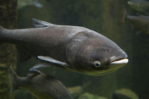 asian fish lists of invasive species