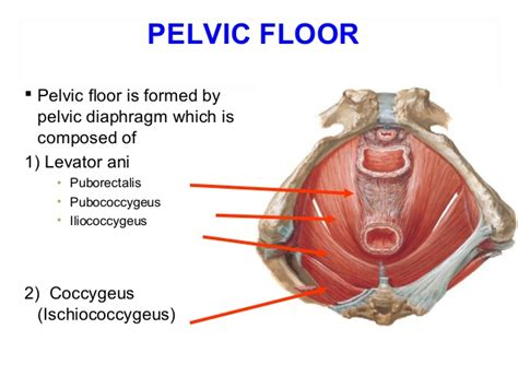 muscles of the pelvic floor the often mentioned tirisula and