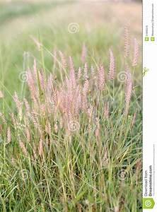 Poaceae Grass Flower  Stock Photo  Image Of Garden  Flora