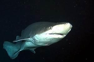 "Prickly Shark – ""OCEAN TREASURES"" Memorial Library"
