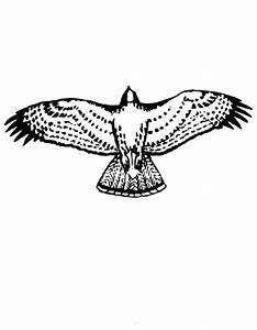 disegno falco da colorare aquila da colorare aquilotto
