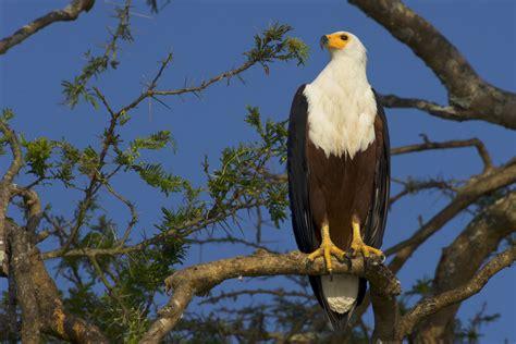 african fish eagle zimbabwe national bird full desktop