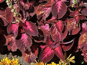 Dendranthema Hybride Balkon : zierpflanzen zierstauden ziergeh lze ~ Lizthompson.info Haus und Dekorationen