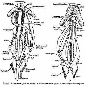 Reproductive Systems Of Scoliodon  With Diagram