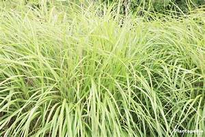 Miscanthus sinensis, Chinese Silver Grass Plant Care - How ...