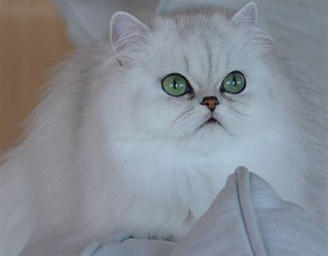 fluffy cat breeds cat breeds encyclopedia