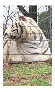 White tigers rescued - YouTube