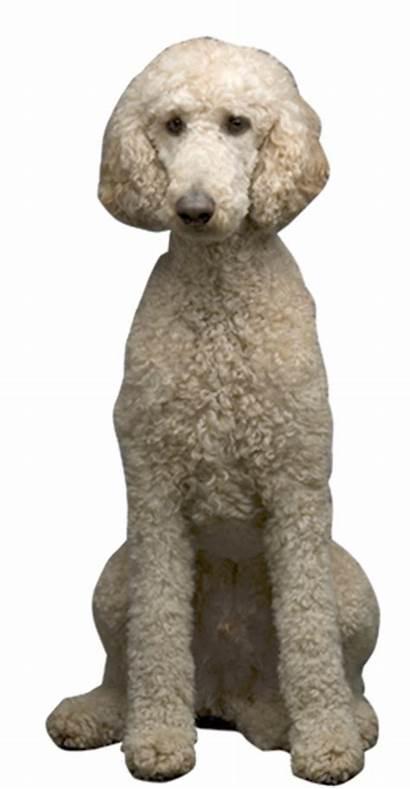 Poodle Standard Cards Thank Dog Birthday Ecard